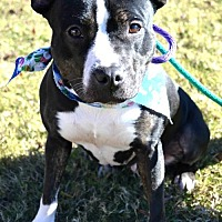 Pit Bull Terrier Dog for adoption in Dallas, Georgia - Black Pearl