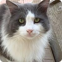 Adopt A Pet :: Cho - Arlington/Ft Worth, TX