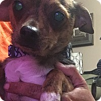 Chihuahua Mix Dog for adoption in Fort Atkinson, Wisconsin - Tigger