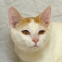 Domestic Shorthair Kitten for adoption in Sacramento, California - Keno M