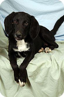 Hound (Unknown Type)/Labrador Retriever Mix Dog for adoption in St. Louis, Missouri - Jazzy Houndador