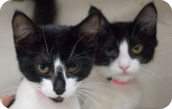 Domestic Shorthair Cat for adoption in Redwood City, California - Tippy