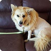 American Eskimo Dog Mix Dog for adoption in Barnesville, Georgia - Mindy