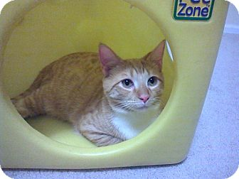 Domestic Shorthair Kitten for adoption in Raleigh, North Carolina - KARL