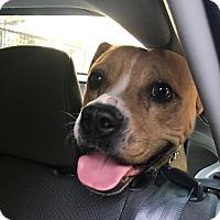 Adopt A Pet :: Bailey - Los Angeles, CA