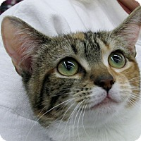 Domestic Shorthair Cat for adoption in Richmond, Virginia - Trixie