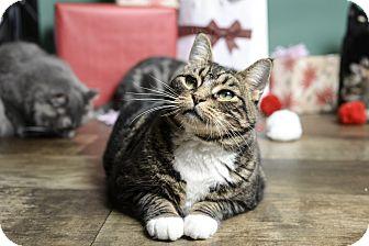 Domestic Shorthair Cat for adoption in Whitehall, Pennsylvania - Juji