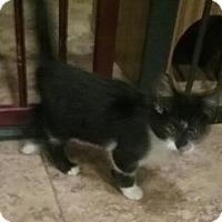 Adopt A Pet :: Macaroon - Glendale, AZ