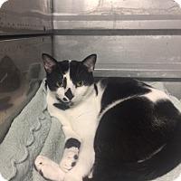 Adopt A Pet :: Bell F033-15 - Nassau Bay, TX