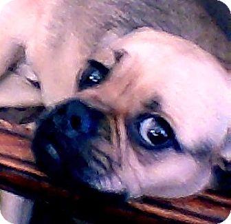 Pug/Beagle Mix Dog for adoption in Hollywood, Florida - Corky