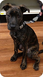 American Pit Bull Terrier Mix Puppy for adoption in Orlando, Florida - Ava