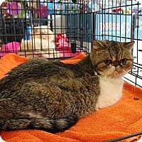 Adopt A Pet :: Honey B - Beverly Hills, CA