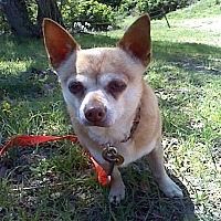 Chihuahua Dog for adoption in Creston, California - Kahuna