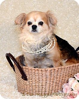 Cavalier King Charles Spaniel/Chihuahua Mix Dog for adoption in Livonia, Michigan - Libby Lu - ADOPTION PENDING