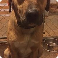 Adopt A Pet :: Brittany - Manhasset, NY
