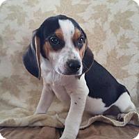 Adopt A Pet :: Brimley - Nashville, TN