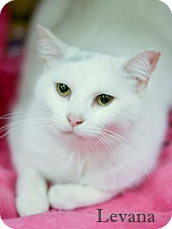 Domestic Shorthair Cat for adoption in West Des Moines, Iowa - Levana