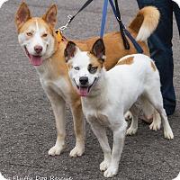 Adopt A Pet :: Bogey - Enfield, CT