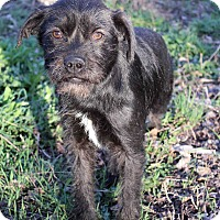 Adopt A Pet :: Ruffina - Westminster, CO