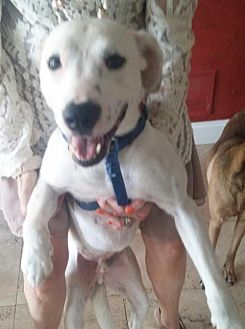 Labrador Retriever/Terrier (Unknown Type, Medium) Mix Dog for adoption in Dallas, Texas - Toby Lab