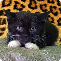 Adopt A Pet :: Mayor Lionheart - New Castle, PA