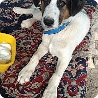 Adopt A Pet :: Sparky - Iran Pup - Encino, CA