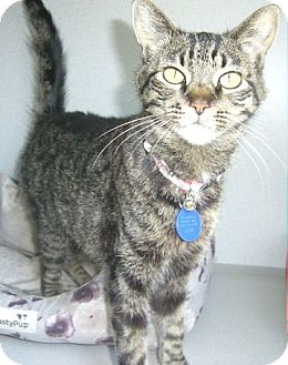 Domestic Shorthair Cat for adoption in Ogden, Utah - Poppy