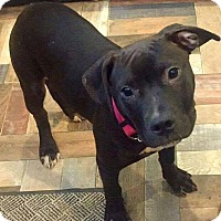 Cane Corso/Pit Bull Terrier Mix Dog for adoption in Dayton, Ohio - Kimber