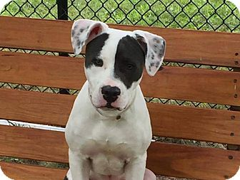 American Pit Bull Terrier/Great Dane Mix Puppy for adoption in Yonkers, New York - Casey Jones