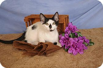 Domestic Shorthair Kitten for adoption in mishawaka, Indiana - Uno