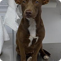 Adopt A Pet :: Sugar - Manning, SC