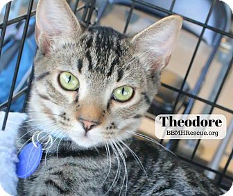 Domestic Shorthair Kitten for adoption in Temecula, California - Theodore
