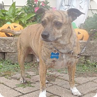 Adopt A Pet :: Quigley - West Chicago, IL