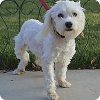 Maltese/Bichon Frise Mix Dog for adoption in Palo Alto, California - Coconut