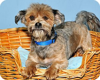 Yorkie, Yorkshire Terrier Mix Dog for adoption in Gatineau, Quebec - Holly
