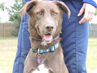 Labrador Retriever/Shepherd (Unknown Type) Mix Dog for adoption in Berkeley Heights, New Jersey - Scarlett