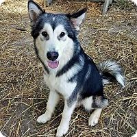 Adopt A Pet :: Dax - Murphysboro, IL