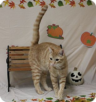 Domestic Shorthair Cat for adoption in Stockton, California - Mushu