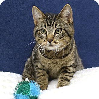 Domestic Shorthair Kitten for adoption in McCormick, South Carolina - Tuna