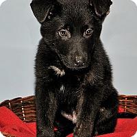 Adopt A Pet :: Louis - Gatineau, QC