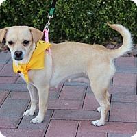 Adopt A Pet :: YERETZI - Las Vegas, NV
