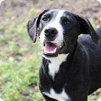 Adopt A Pet :: Cullen - boston, MA