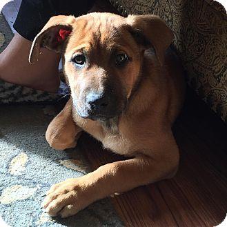 German Shepherd Dog/Leonberger Mix Puppy for adoption in Davis, California - Dakota