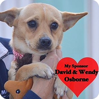 Chihuahua Mix Dog for adoption in San Leon, Texas - Tanner