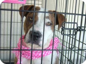 American Bulldog/Pit Bull Terrier Mix Dog for adoption in Las Vegas, Nevada - Dee Dee