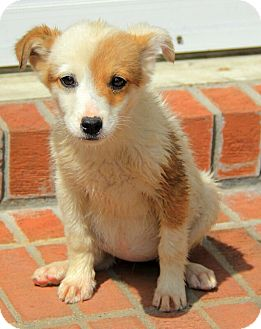 Australian Shepherd/Collie Mix Puppy for adoption in Staunton, Virginia - Hattie