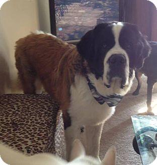 St. Bernard Dog for adoption in Welland, Ontario - Marley
