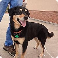 Adopt A Pet :: Belle - Bedford, TX