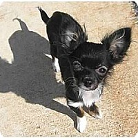 Adopt A Pet :: Pygmy (Courtesy List) - Richmond, VA