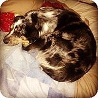 Adopt A Pet :: Cowboy - New Boston, NH